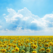 Stock Photo: Cloudy sky and sunflowers field