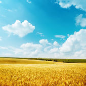 Golden harvest and blue sky — Stock Photo