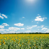 Field with sunflowers and blue sunny sky — Stok fotoğraf