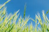 Blue sky over green barley — Stock Photo