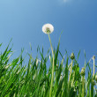 Dandelion and green grass under blue sky — Stock Photo #39222787