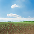 Stock Photo: Rows of green shots on spring field under cloudy sky