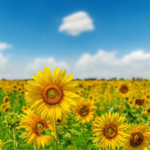 Field with sunflower closeup and blue sky — Stock Photo