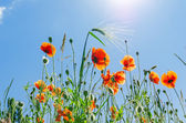 Red poppies under blue sky — Stock Photo