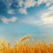 Stock Photo: Golden ear of wheat on sunset