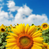 Sunflower closeup on field under blue sky — Stock Photo