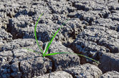 Alone green plant in drought earth — Stock Photo