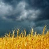 Golden harvest under dark low clouds. rain before — Stock Photo
