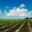 Agriculture field close up and blue sky with clouds over it — Photo