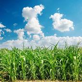 Зеленой кукурузы поле и облака — Стоковое фото