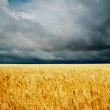 Dramatic clouds over golden field. rain before — Stock Photo