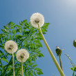 White dandelion with green grass under blue sky and sun — Stock Photo #45458003