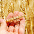 Golden ear of wheat in hand — Stock Photo #48196609