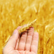 New harvest in hand over golden field — Stock Photo #48196709
