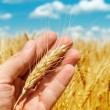 Golden ear of wheat in hand over field — Stock Photo #48197277