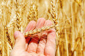 Golden ear of wheat in hand — Stock Photo