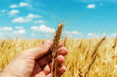 Showing of new rip harvest in hand. golden field under blue sky — Stock Photo