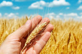 Golden ear of wheat in hand over field — Stock Photo