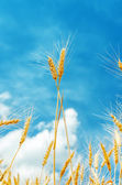 Two golden stems under blue sky on field — Stock Photo