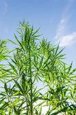 Bush of marijuana under sunlight — Stock Photo