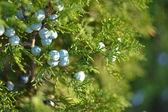 Blauwe bessen op groene cypress boom, macro — Stockfoto