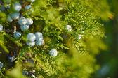 Baies bleues sur fond vert — Photo