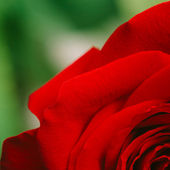 Part of rose on green — Stock Photo