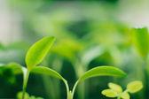 Biber lahanası — Stok fotoğraf