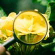 Primula in magnifier - Stock Photo