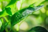 Foglia verde con acqua scende — Foto Stock