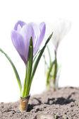 Pierwszy kwiat wiosna - krokus — Zdjęcie stockowe
