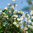 Stock Photo: Spring eglantine bloom