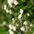 Spring eglantine bloom — Stock Photo