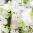 Apricot blooming — Stock Photo #26012573