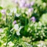 Irises on green background — Stock Photo #26012595
