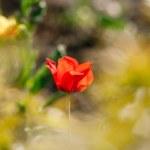 Red single tulip — Stock Photo