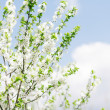 Apricot blooming — Stock Photo