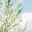 Stock Photo: Apricot blooming