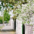 Cherry bloom in city — Stock Photo