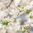 Apricot blooming tree — Stock Photo