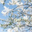 Stock Photo: Apricot blooming tree