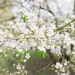 Early blossom of cherry — Stock Photo