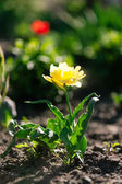 Yellow single tulip — Stock Photo