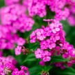Garden flowers — Stock Photo