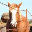 Palomino draught horse behind the barbed wire fence - Stock Photo
