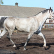 Gray horse trotting in paddock — Stock Photo #13176423
