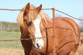 Palomino draught horse behind the barbed wire fence — Stock Photo