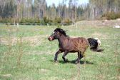 Brown shetland pony galloping at the field — Stock Photo