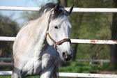 Gray latvian horse — Stockfoto