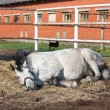 Stock Photo: Gray horse rolling on ground